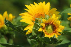 sunflower-saletyni-olsztyn-parafia