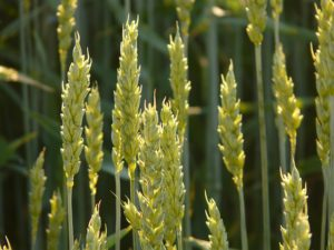 wheat-zboże-kłos-parafia-saletyni-olsztyn