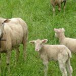niedziela-dobrego-pasterza-owieczki