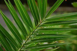niedziela-palmowa-liść-palma